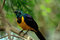 Stock Image : Golden Breasted Starling