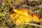 Stock Image : Golden Fallen Leaves