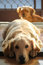 Stock Image : Golden Retriever and a friend