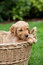 Stock Image : Golden retriever puppy