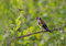 Stock Image : Goldfinch