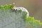 Stock Image : Gooseberry sawfly catepillar