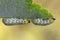 Stock Image : Gooseberry sawfly catepillars