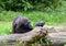 Stock Image : Gorilla resting on a tree