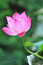 Stock Image : Graceful pink lotus