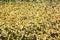 Stock Image :  Gramado verde coberto com as folhas de bordo amarelas
