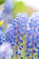 Stock Image : Grape Hyacinth (Muscari)