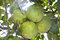 Stock Image : Grapefruit