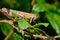Stock Image : Grasshopper