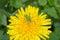 Stock Image : Grasshopper on the flower
