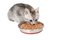 Stock Image : Gray kitten eats from a bowl