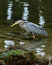 Stock Image : Great Blue Heron Hunting in Eelbed