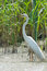 Stock Image : Great Egret
