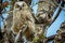 Stock Image : Great Horned Owl