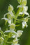Stock Image : Greater Butterfly-orchid