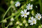 Stock Image : Greater Stitchwort