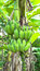 Stock Image : Green banana