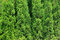 Stock Image : Green branches of Cedar