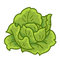 Stock Image : Green cabbage