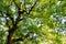 Stock Image : Green Camphor tree