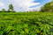 Stock Image : Green cassava field