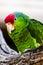 Stock Image : Green Cheeked Amazon