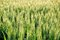 Stock Image : Green field of unripe wheat