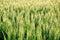 Stock Image : Green field of unripe wheat