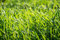 Stock Image : Green Grass Lawn Background