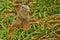 Stock Image : Green Iguana Closeup