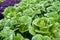 Stock Image : Green kale