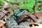 Stock Image : Green Lizard - Calotes emma - Thailand Reptiles