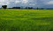Stock Image : Green Rice field