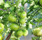Stock Image : Green tomatoes on a branch in a garden