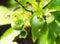 Stock Image : Green unripe blueberries