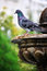 Stock Image : Grey Pigeon