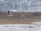 Stock Image : Greylag-goose