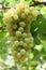 Stock Image :  Groene Druiven
