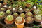 Stock Image : Group of cactus plants