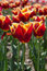 Stock Image : Group of red tulips in the park. Spring landscape.