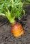 Stock Image : Growing Carrot