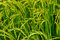Stock Image : Growing rice and green grass field