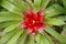 Stock Image : Guzmania flower