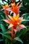 Stock Image : Guzmania flowers