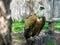 Stock Image : Gyps himalayensis (Himalayan Vulture)