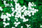 Stock Image : Gypsophila