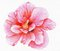 Stock Image : Hand-drawn pink hibiscus