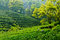 Stock Image :  tea garden