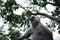 Stock Image : Hanuman Langur monkey on the tree