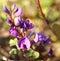 Stock Image : Hardenbergia sarsaparilla Austalian wildflower